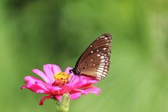 Härlig fjäril på bild för rosa färgblommamateriel royaltyfria bilder
