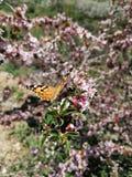 Härlig fjäril på blommorna av ett löst träd royaltyfria bilder