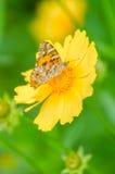 Härlig fjäril på den gula blomman Fotografering för Bildbyråer