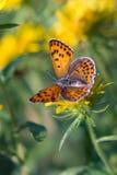 Härlig fjäril på den gula blomman Arkivbilder
