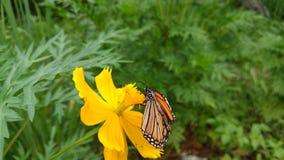 Härlig fjäril på den gula blomman av Quynh Nguyen royaltyfri fotografi