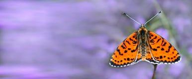 Härlig fjäril på en äng Borste-footed fjärilar Kopieringsutrymmen arkivbild