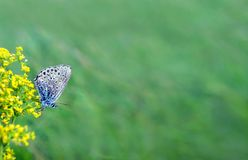 Härlig fjäril på en äng Kopieringsutrymmen påskyndat fjärilsflor Royaltyfri Bild