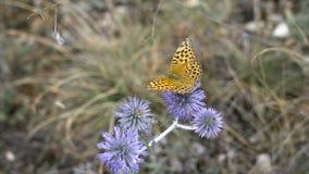 Härlig fjäril på en blommagrov spik, sommaräng Natur i dess friskhet och glans Inte bortskämt ekologiskt lager videofilmer