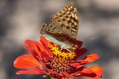 Härlig fjäril på en ljus röd blomma arkivfoton