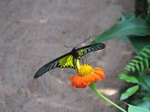 Härlig fjäril på en orange blomma Fotografering för Bildbyråer