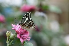 Härlig fjäril på rosa färgblomman fotografering för bildbyråer