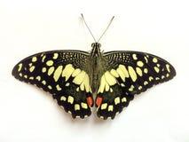 Härlig fjäril på vit bakgrund Fotografering för Bildbyråer
