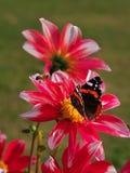 Härlig fjäril som sitter på den ljusa röda och gula kulöra dahliablomman på en varm solig höstdag fotografering för bildbyråer