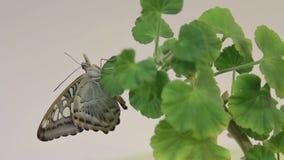 Härlig fjäril som vilar på blomman, slut upp av den stora fjärilen som sitter på gröna sidor, kryp i naturlivsmiljön, stock video