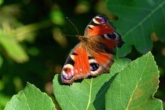 Härlig fjäril som vilar på ett fikonlöv Royaltyfri Foto