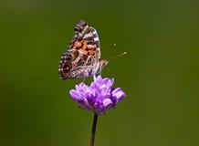 härlig fjärilsblomma fotografering för bildbyråer