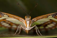 härlig fjärilscloseup Arkivfoto