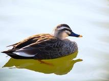 Härlig fläck-fakturerad andman på den blåa sjön Royaltyfri Fotografi