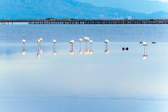 Härlig flamingogrupp i vattnet i deltadel Ebro, Catalunya, Spanien Arkivfoton