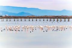 Härlig flamingogrupp i vattnet i deltadel Ebro, Catalunya, Spanien Kopiera utrymme för text Royaltyfria Bilder