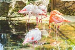 Härlig flamingoställning royaltyfria bilder