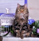 Härlig fluffig brun katt Arkivbild