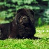Härlig fluffig käk för svart hund som ligger i sommaren på naturen Arkivbilder