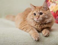 Härlig fluffig ljust rödbrun katt som ligger på soffan Royaltyfri Fotografi