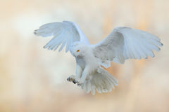 Härlig fluga av den snöig ugglan Snöig uggla, Nyctea scandiaca, flyg för sällsynt fågel på himlen Vinterhandlingplats med öppna v arkivfoton