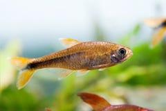 Härlig foto för behållare för akvarium för Tetra simning för akvariefisk silver tippat sötvattens- Arkivbild