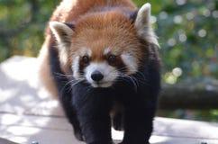 Härlig framsida av en Lesser Panda Arkivbild