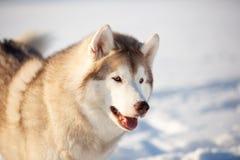 Härlig, fri och lycklig siberian skrovlig hund som sitter på den insnöade vinterskogen på solig dag royaltyfri fotografi