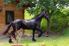 Härlig Friesian häst som kör utanför stall fotografering för bildbyråer