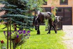 Härlig Friesian häst utanför stall fotografering för bildbyråer