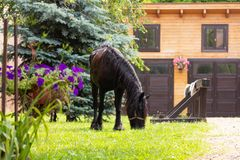 Härlig Friesian häst utanför stall arkivfoton