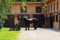 Härlig Friesian häst utanför stall arkivbilder