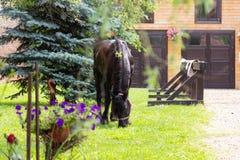 Härlig Friesian häst utanför stall royaltyfri bild