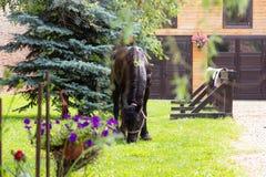 Härlig Friesian häst utanför stall royaltyfri fotografi