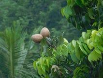 Härlig frukt på träd Fotografering för Bildbyråer
