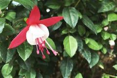 Härlig fuchsiablomma i trädgården Royaltyfria Foton