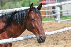 Härlig fullblods- häst i en fålla utomhus close upp royaltyfri foto