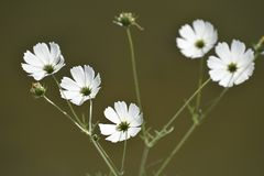 Härlig Galsang blomma arkivfoto