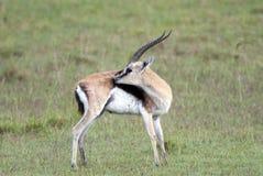 Härlig gasell för Thomson ` s på bakgrunden av den afrikanska savannahen Arkivfoton