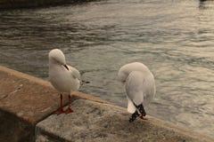 Härlig gemensam fiskmås Royaltyfri Foto
