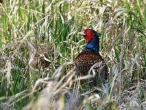 Härlig gemensam pheasant Royaltyfri Bild