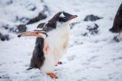 Härlig gentoopingvin på den insnöade Antarktis Fotografering för Bildbyråer