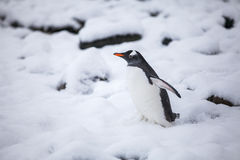 Härlig gentoopingvin som går på insnöade Antarktis Royaltyfria Bilder