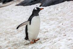 Härlig gentoopingvin som går på insnöade Antarktis Royaltyfri Fotografi