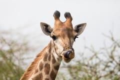 Härlig giraff som ser nyfiken Arkivfoto