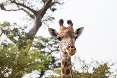 Härlig giraffheadshotcloseup Arkivfoto