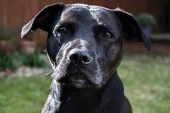 Härlig glansig skinande svart hund för labradorStaffordshire Bull terrier korsning med ledsna ögon Royaltyfri Bild