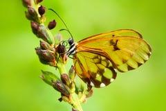 Härlig Glasswinged fjäril med genomskinliga vingar Härlig fjäril i naturlivsmiljön Fjäril med den genomskinliga vingen Royaltyfria Bilder