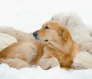 Härlig golden retrieverpacke Royaltyfri Fotografi
