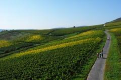 Härlig gränd bland vingården på kullen Arkivfoton